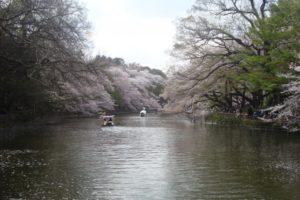 井の頭公園 桜 満開