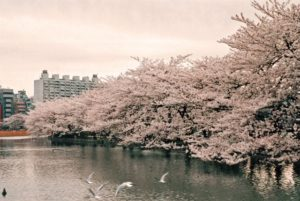 上野公園 桜 満開時期